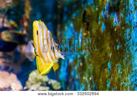 Funny Closeup Of A Copperband Butterflyfish, Tropical Fish Specie From The Pacific Ocean