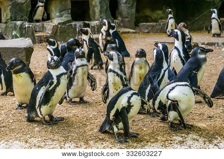Colony Of African Penguins, Family Of Black Footed Penguins, Zoo Animals, Endangered Animal Specie