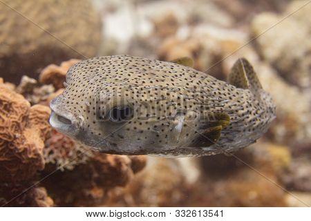 Porcupine Fish On Coral Reef Off Bonaire, Dutch Caribbean