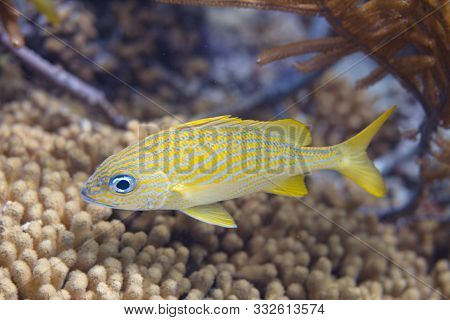 French Grunt On Coral Reef Off Bonaire, Dutch Caribbean