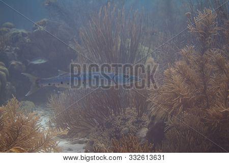 Great Barracuda On Coral Reef Off Bonaire, Dutch Caribbean