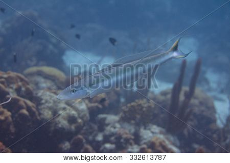 Sand Tilefish On Coral Reef Off Bonaire, Dutch Caribbean