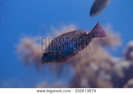 Redband Parrotfish On Coral Reef Off Bonaire, Dutch Caribbean