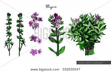 Thyme Colorful Illustration In Sketch Style, Isolated On White Background. Botanical Seasoning Illus