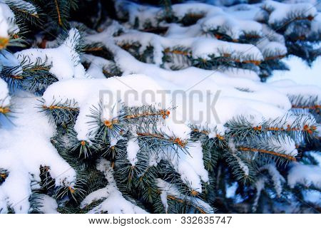 Fir Tree Branch In White Snow On Winter Holiday Evening With Snowfall. Spruce Branch Or Pine Tree, F