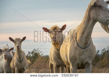 Close Up Of Goats In Nature. Amazing Nature. Close Up Of A Goats In Meadow In Nature. Goat. Nature.