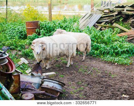 Animals In A Landfill. Sheep Graze In A Landfill. The Only Food A Cow Receives In A Landfill Is Tras