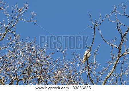 Peregrine Falcon Falco Peregrinus Sitting On Tree Branch And Looking At You. Wild Predatory Bird In