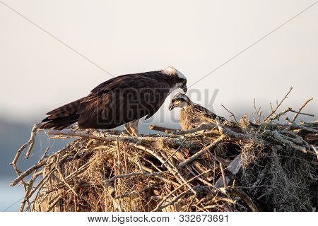An Adult Osprey With Her Chick In A Nest.