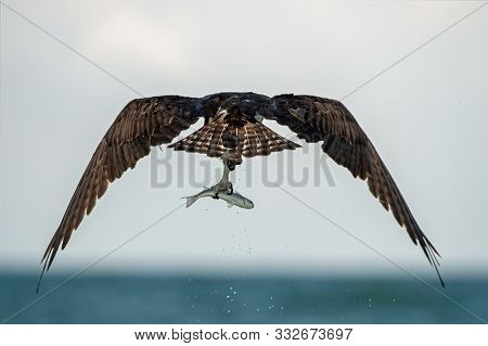 An Osprey Flies Of With A Catch.