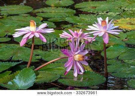 Sun Shines Bright On Pink Water Lillies