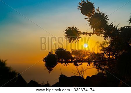 Santorini Sunrise Backlights Thistle Flower Heads And Spider Web Glistening In Sunlight.