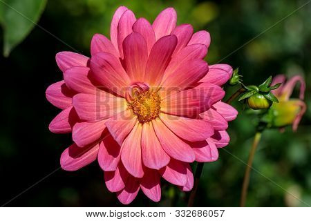 Close-up Of Mulitcolor Delicate Aster Flower In The Summer Time Garden. Photography Of Lively Nature