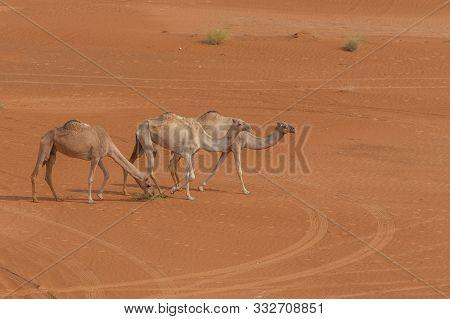 A Group Of Dromedary Camels (camelus Dromedarius) Walking Acorss The Desert Sand In The United Arab