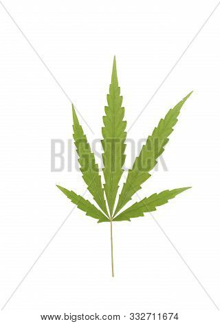 Dry Of Hemp Or Cannabis Leaf Isolated On White Background With Clipping Path. Top View, Flat Lay. Te