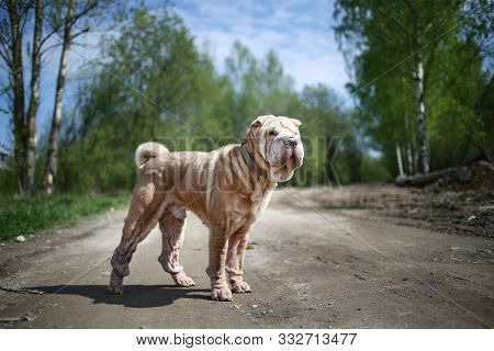 Red Fawn Shar Pei Dog With Collar Standing On Dirt Road