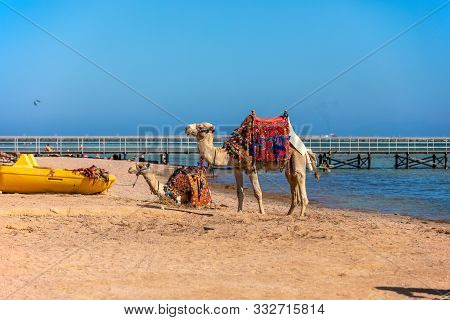 A Friendly Camels With A Colorful Saddles On The Beach In Sharm El Sheikh, Egypt.  a Camels Nicely D