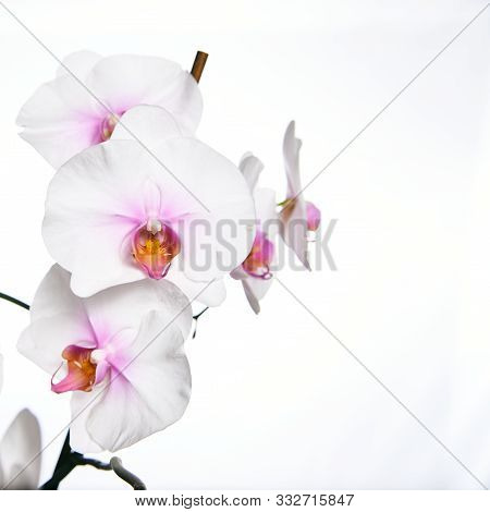 Orchid Flower Blossom Isolated On The White Background.