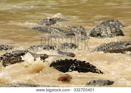 American Alligator (alligator Mississippiensis) Hunting And Eating In The River. America Alligator I