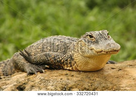 American Alligator (alligator Mississippiensis) Having A Rest On The Stone. America Alligator With G