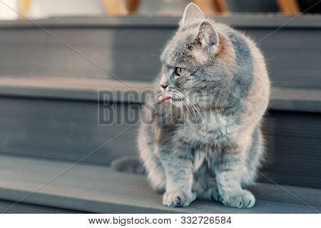 ay cat sits on the steps at the entrance to the farmhouse, sticks out his tongue and looks away poster