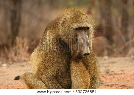 Baboon (papio Ursinus) Portrait In Kruger Np Siting Straight The Camera With Open Mouth. Dry Brown B