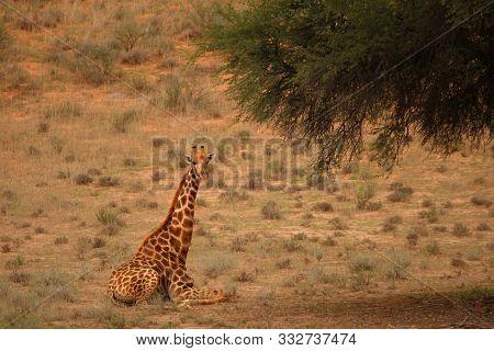 Giraffe (giraffa Camelopardalis Giraffa) Lieing On Sand Under The Tree In Kalahari Desert. Grass Bac