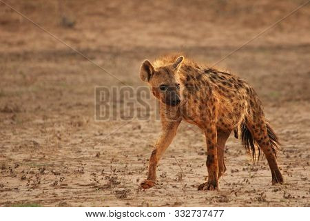 Lonely Spotted Hyena (crocuta Crocuta) (laughing Hyena) Giving A Look And Going Across Parched Deser
