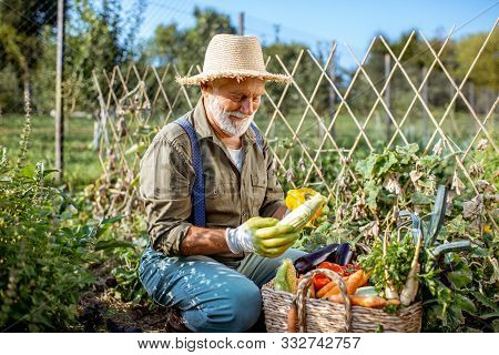 Senior Well-dressed Man Picking Up Fresh Vegetable Harvest On An Organic Garden. Concept Of Growing