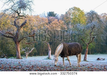 On A Sunny But Frozen Morning The Horse It Eating Its Breakfast In The Orchard