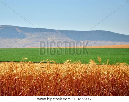 Israeli golden stalks of wheat