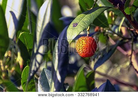 Arbutus Unedo Is An Evergreen Shrub Or Small Tree In The Family Ericaceae Known As Cain, Cane Apple,