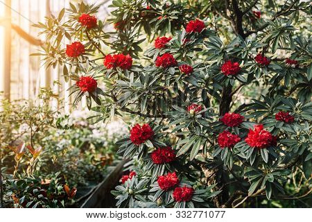 Blooming Colorful Rhododendron Flowers In Conservatory. Red Azalea, Evergreen Heather Plants In Gree