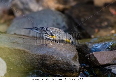 Alert Yellow Rumped Warbler has beak dipped into cold running water of creek to quench its thirst. poster