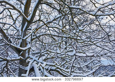 Snowy tree branches on a gloony, winter day