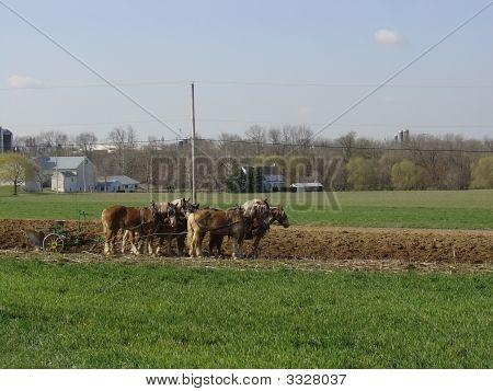 Amish Plow Horses