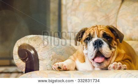 English Bulldog Puppy Red-haired With White Colored Closeup Portrait British Breed