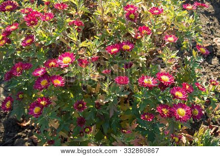 Florescence Of Chrysanthemum With Deep Pink And Yellow Flowers