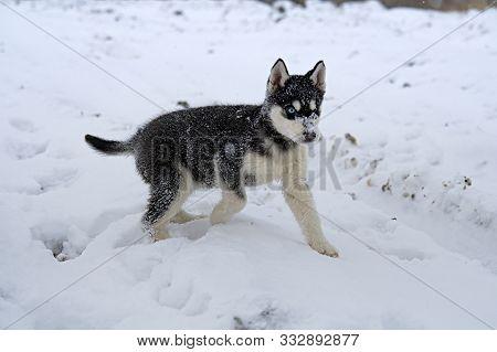 Siberian Husky. Siberian Husky Is Walking On Winter Field.