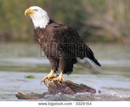 Bald Eagle Sitting On Log