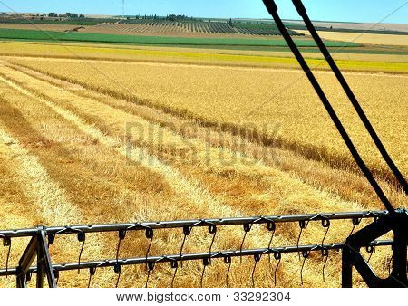 Combine Harvesting Wheat Field - View From Inside