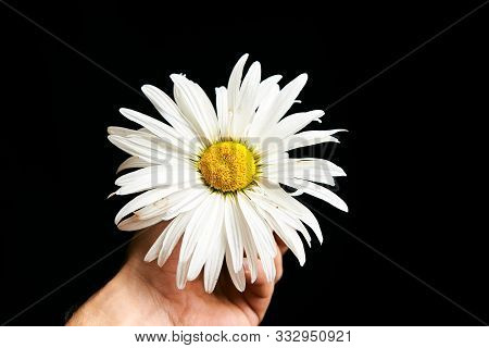Blossom Of Chamomile Flower In The Man Hand.