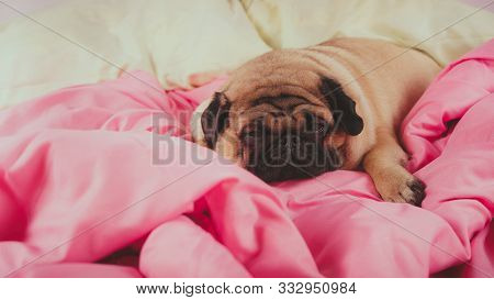Close Up Face Of Cute Pug Dog Breed Lying On A Dogs Bed With Sad Eyes Opened. Funny Portrait Pug In
