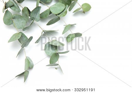 green leaves eucalyptus. branches eucalyptus isolated on white background.