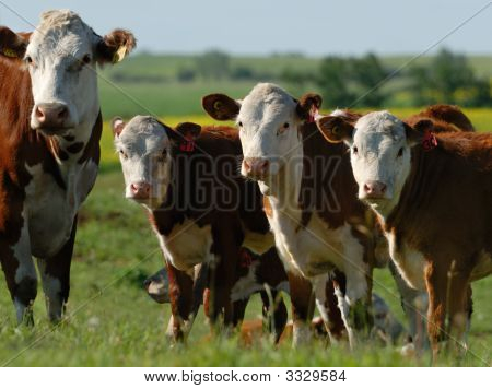 Dairy Cows In A Herd