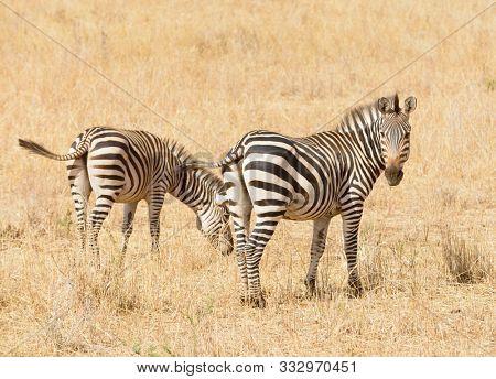 Closeup of Burchell's Zebra or Boehm's zebra (scientific name: Equus burchelli, subspecies Equus burchelli boehmi or