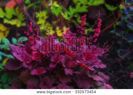 Purple Heuchera Leaves And Pink Flowers Natural Background. Flowerbed With Beautiful Bush
