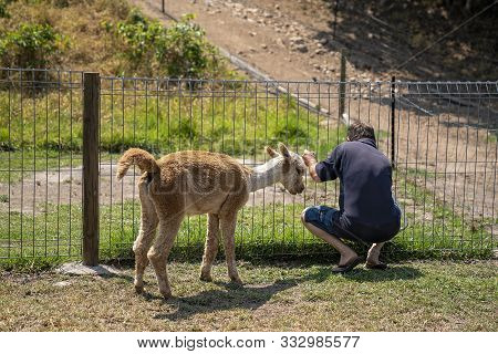 A Young Inquisitive Alpaca Looking To See What Its Owner Is Doing At The Fence