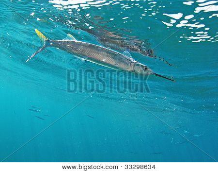 Ballyhoo Fish Swimmin In Ocean