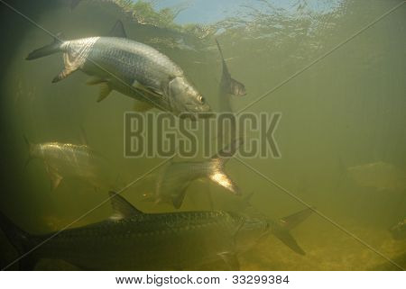 Tarpon Fish Swimming In The Ocean